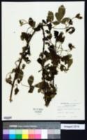 Rubus ozarkensis image
