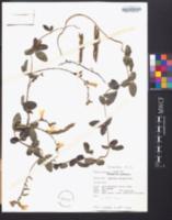 Image of Galactia pendula
