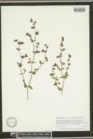 Mirabilis laevis var. crassifolia image