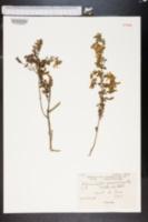 Image of Adenocarpus telonensis