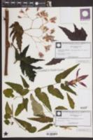 Image of Begonia dipetala