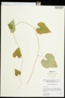 Dioscorea polystachya image