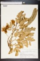Albizia lebbeck image