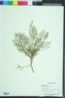 Image of Cupressus chengiana