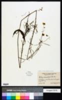 Bidens trichosperma image