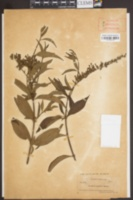 Image of Buddleja japonica