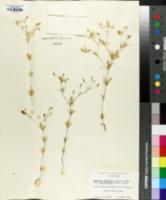 Image of Linanthus liniflorus