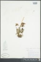 Pedicularis parryi subsp. purpurea image