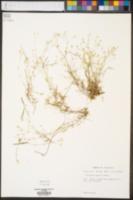 Arenaria patula image