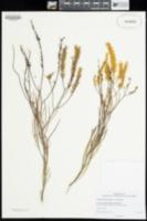 Image of Grevillea biformis