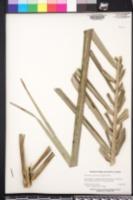 Acrocomia aculeata image