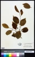 Prunus myrtifolia image
