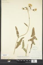 Sonchus arvensis image