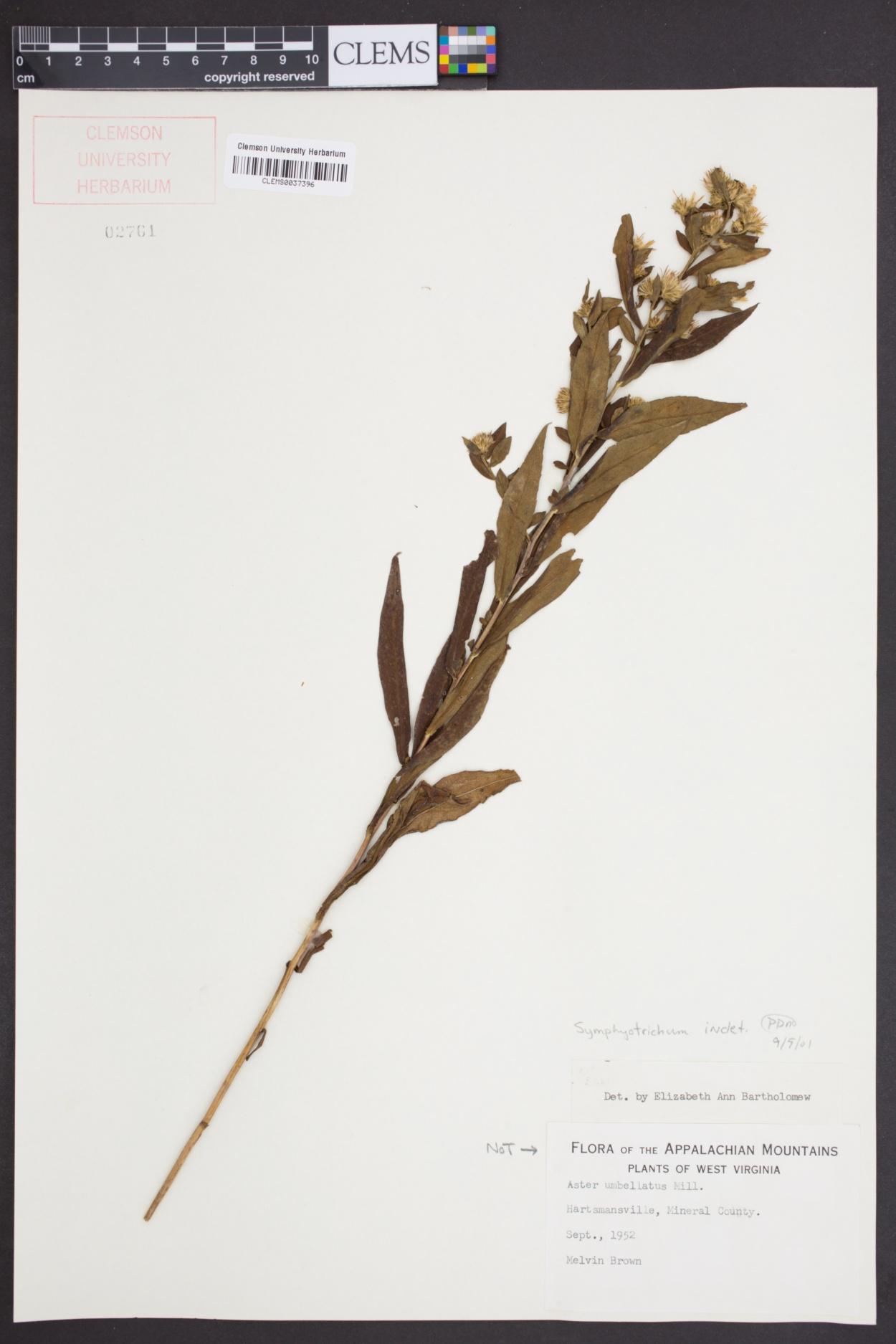 Symphyotrichum image