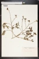 Image of Sida acuminata