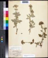 Image of Pycnanthemum curvipes