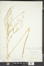 Rorippa palustris var. palustris image