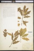 Image of Quercus capesii