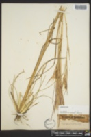 Andropogon capillipes image