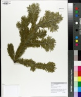 Image of Abies sibirica