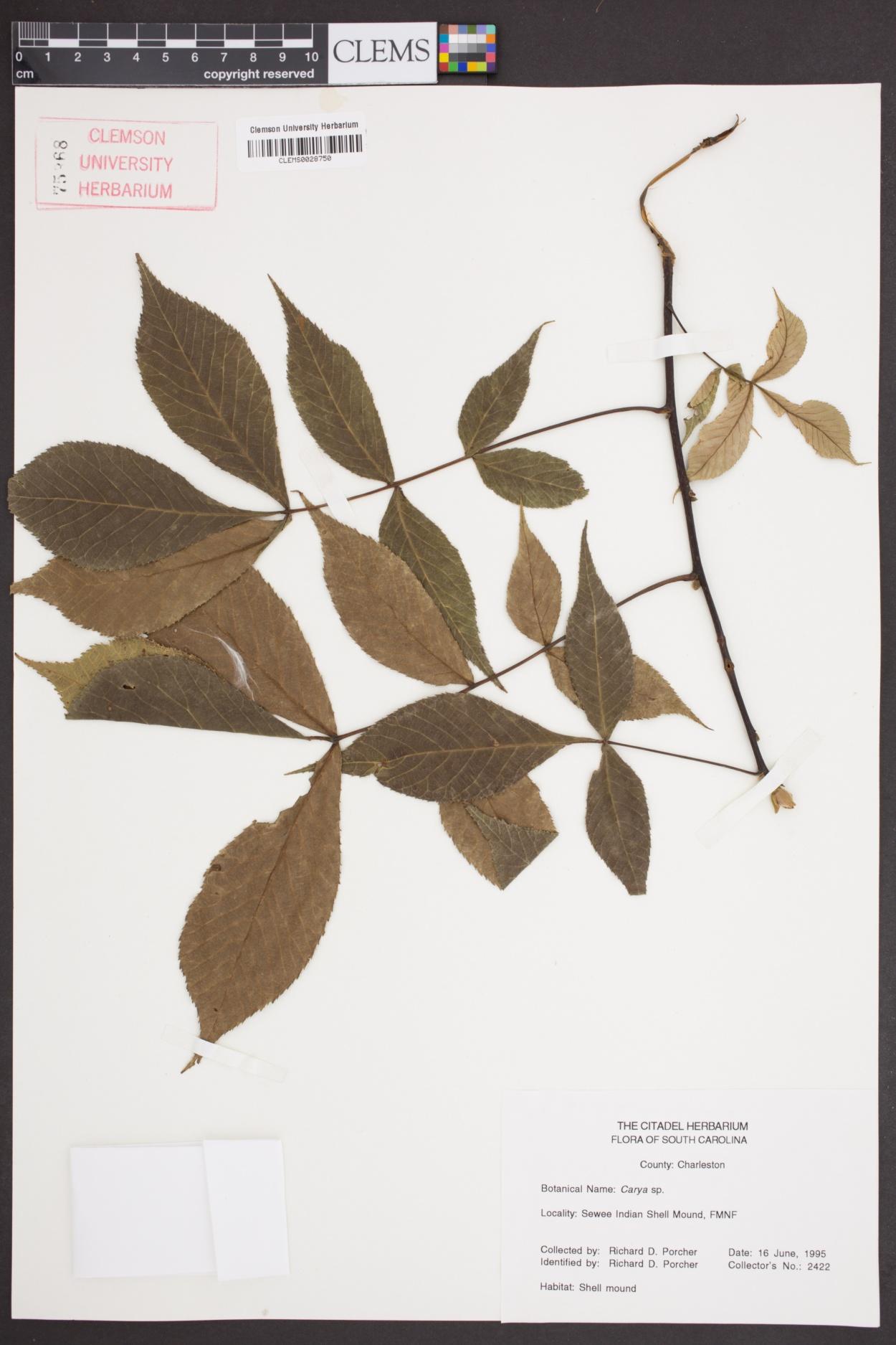 Carya image