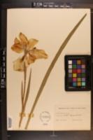 Image of Iris laevigata