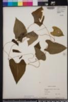 Dioscorea dodecaneura image
