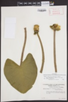 Nuphar lutea image