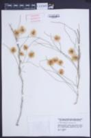 Image of Calligonum arborescens