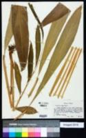 Image of Zingiber mioga