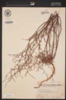 Eriogonum vimineum image