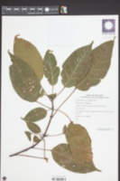 Image of Acer laurinum