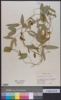 Image of Glycine soja