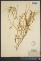 Astragalus microlobus image