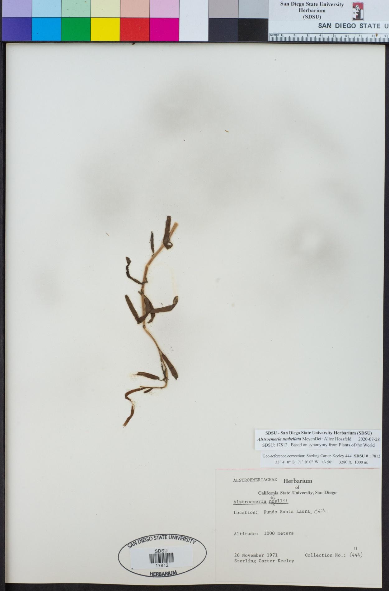 Alstroemeria umbellata image