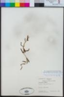 Image of Alstroemeria umbellata