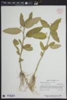 Caperonia palustris image