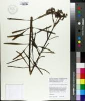 Bryophyllum daigremontianum image