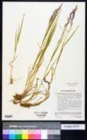 Agrostis agrostiflora image