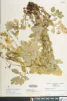Chelidonium majus image