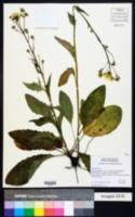 Image of Hieracium diaphanum