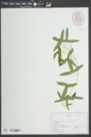 Passiflora lutea image
