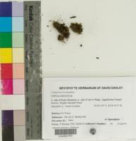 Cephalozia bicuspidata image