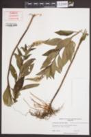 Lysimachia clethroides image