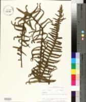 Polypodium dispersum image