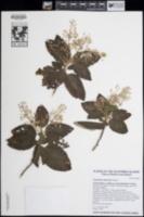 Image of Ceanothus arboreus