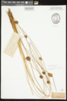Image of Juncus hesperius