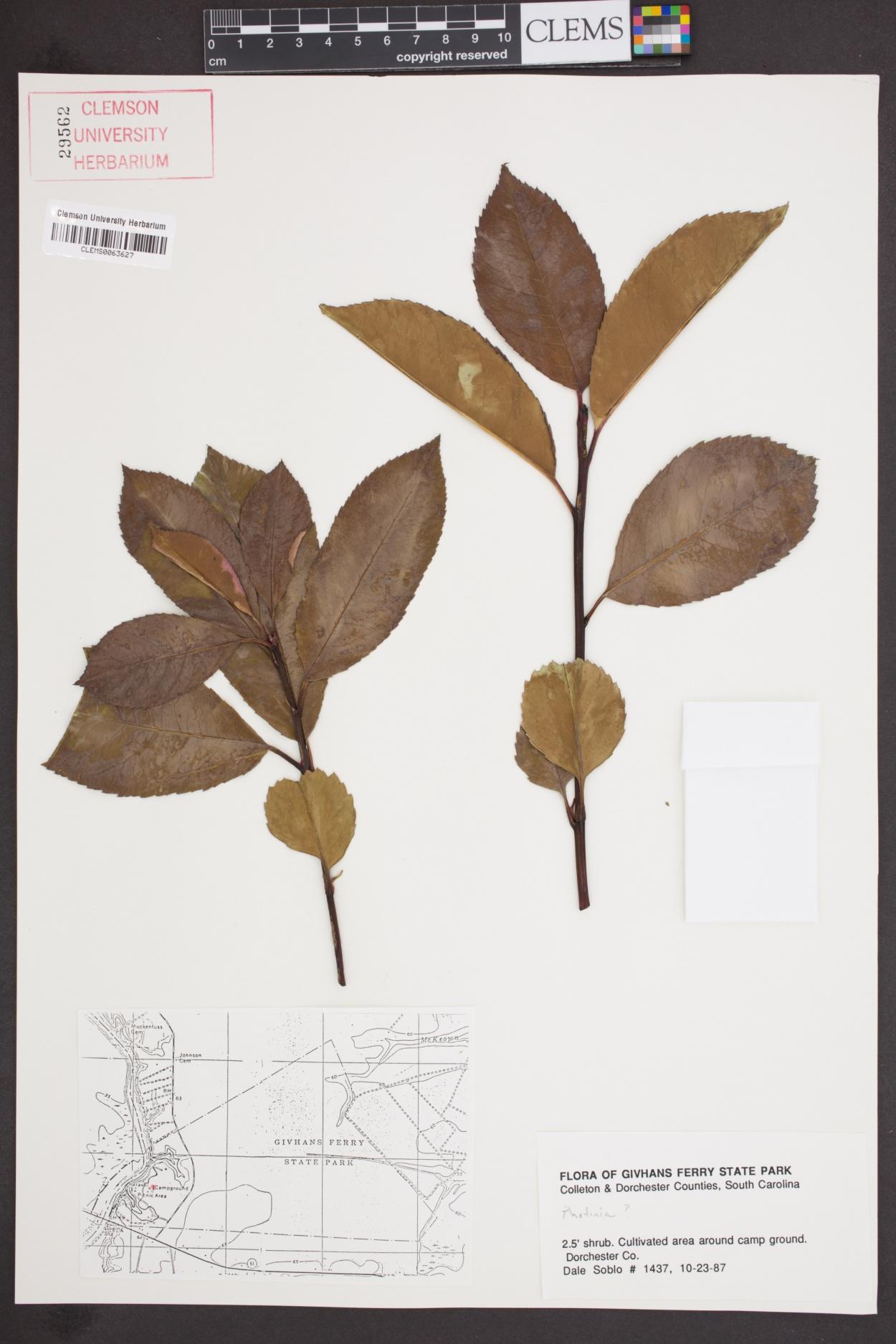 Photinia image