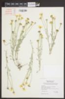Eriophyllum lanatum var. integrifolium image