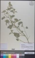 Abutilon malacum image